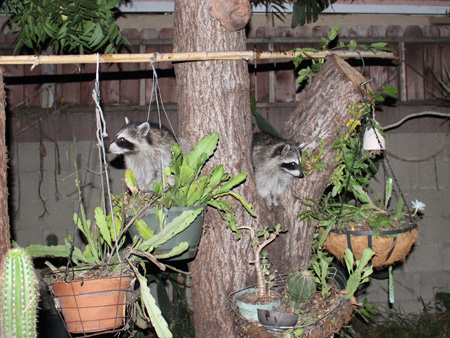 Raccoons-gang-of-4_5