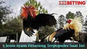 5-Jenis-Ayam-Petarung-Terpopuler-Saat-Ini-min