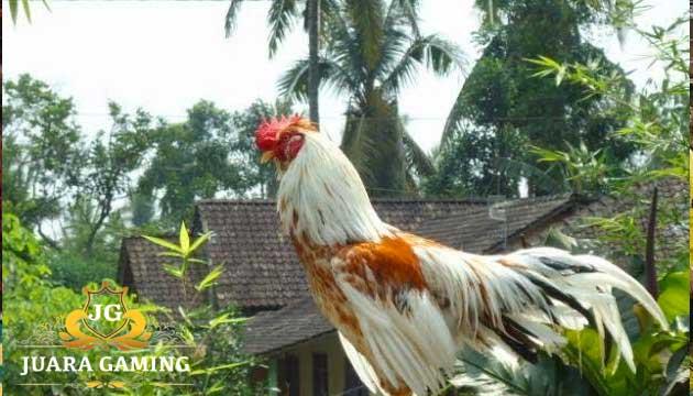 Ayam Lokal Asli