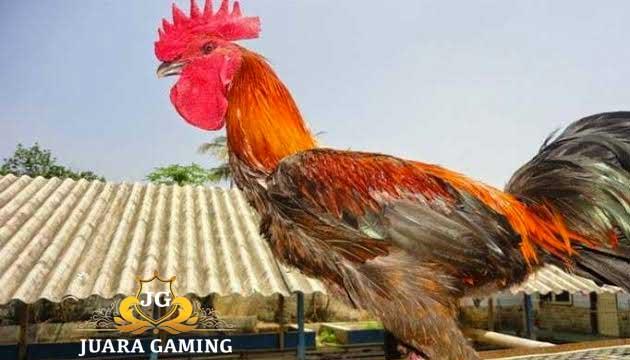 Ayam Hias Termahal