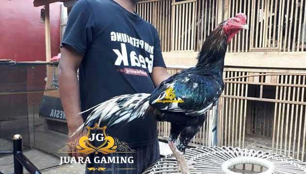 Kenali Ciri-Ciri Ayam Panus Super Yang Asli Thailand