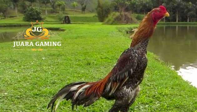 Ayam Shamo Asli