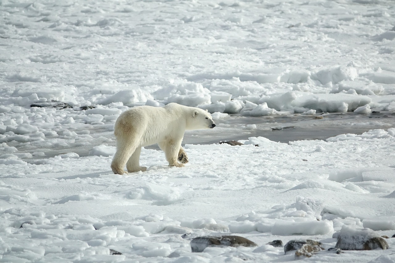 Dropped GPS Tracking Collars from Polar Bears Show Drifting Ice Movement