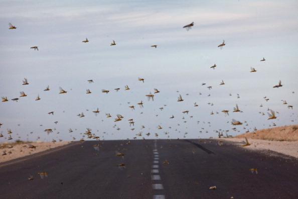 Locusts flies over the road