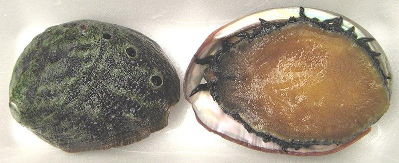 White seashell