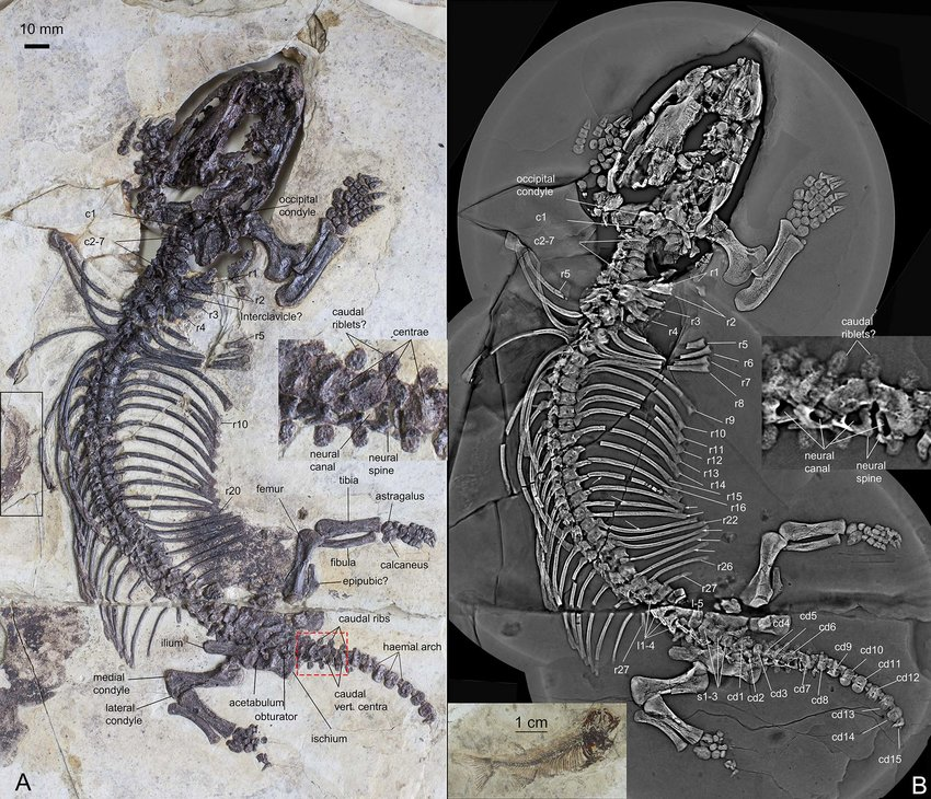 Fossoriality and evolutionary development in two Cretaceous mammaliamorphs
