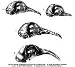 Darwin_pigeon_skulls