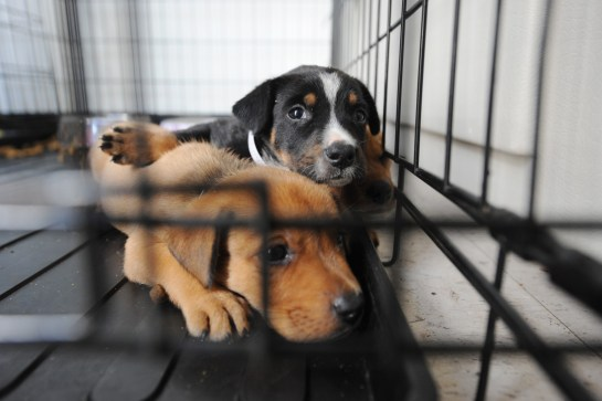 Why Breeding Dogs is a Problem, Even if the Breeder is 'Reputable' - One  Green Planet