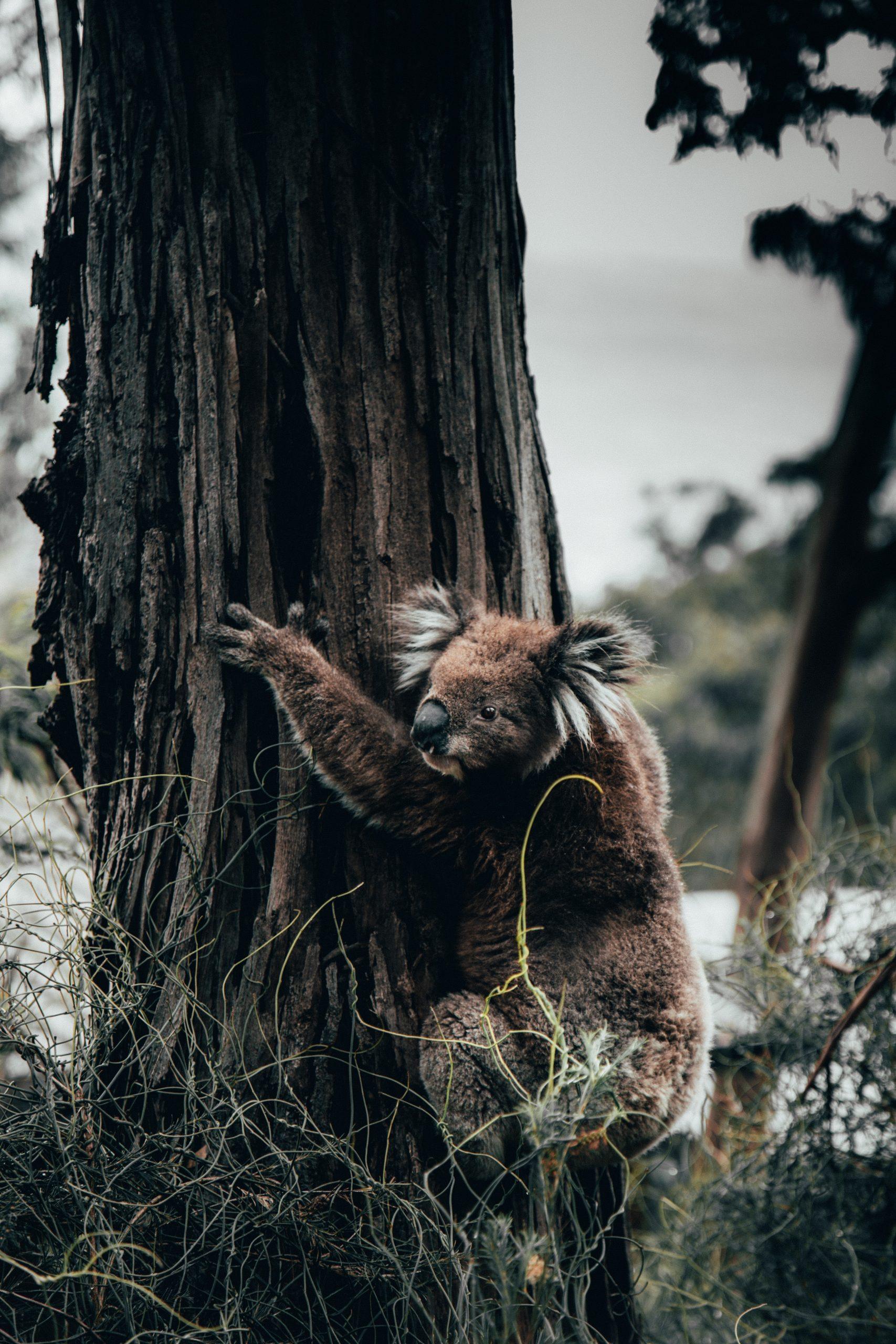 Watch Brave Woman Rescue Koala from Blazing Australian Bushfires