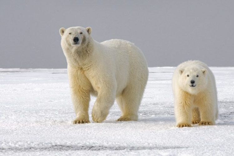 Ice Loss Forces Polar Bears to Inbreed