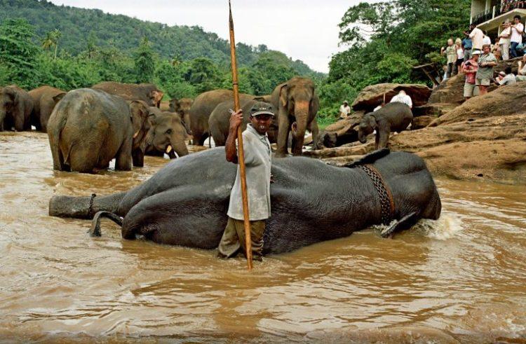 The Cruelty Behind Pinnawala Elephant Orphanage