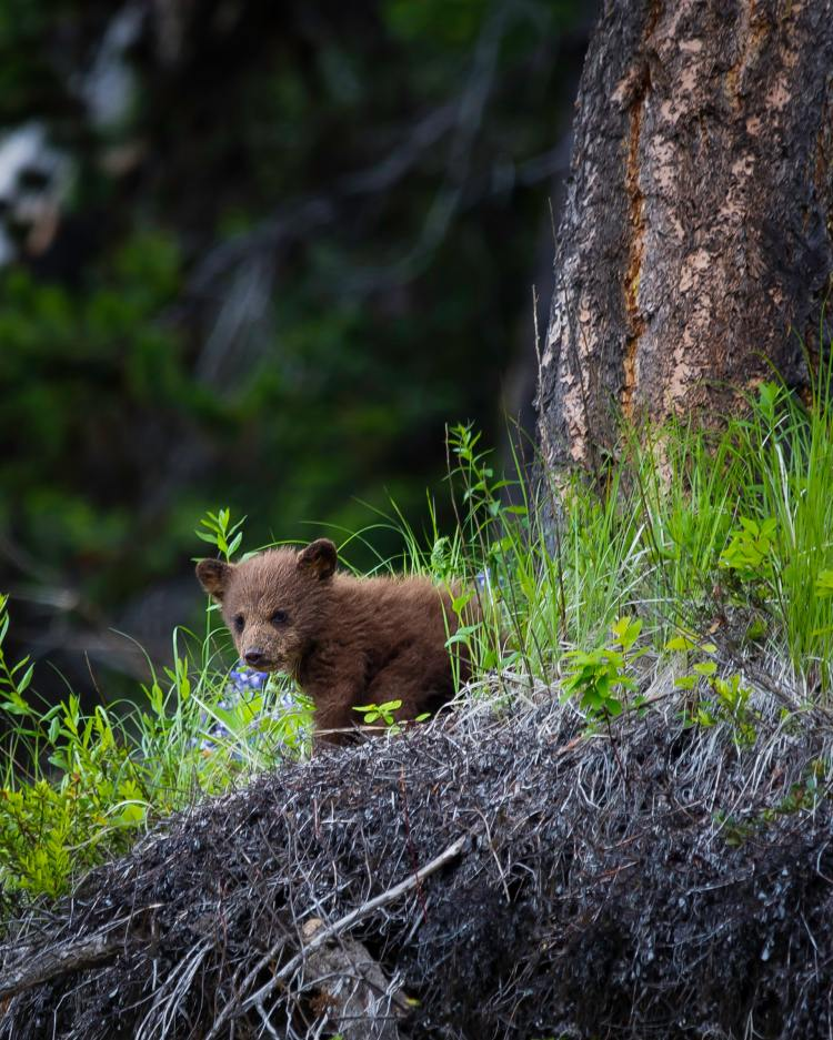 Bear Cub with Burned Paws Rescued from Dixie Fire