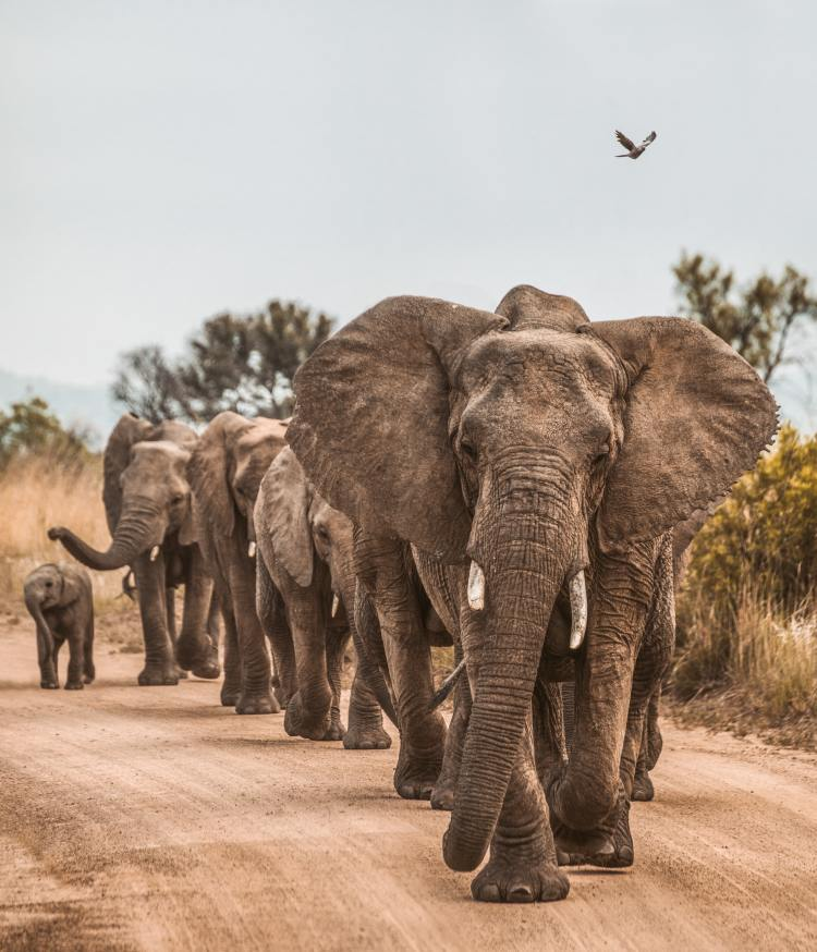 Namibia Auctions Off 57 Wild Elephants