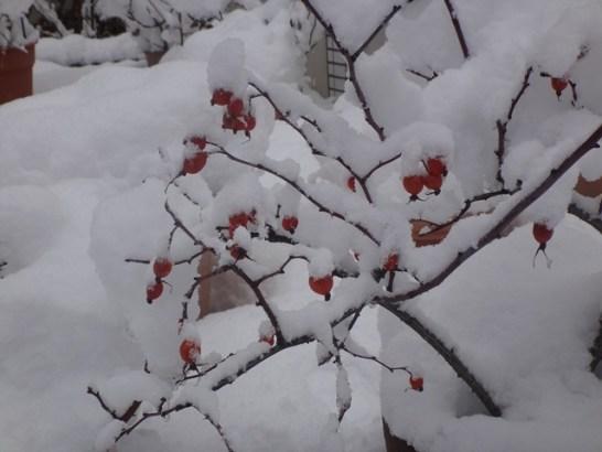14日、我が家の庭の風景より。凍え縮んでいる薔薇の実。