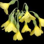 Primula sikkimensis, Sektion: Sikkimensis