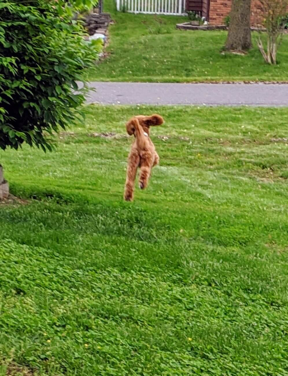 A chestnut colored whoodle jumping through the yard
