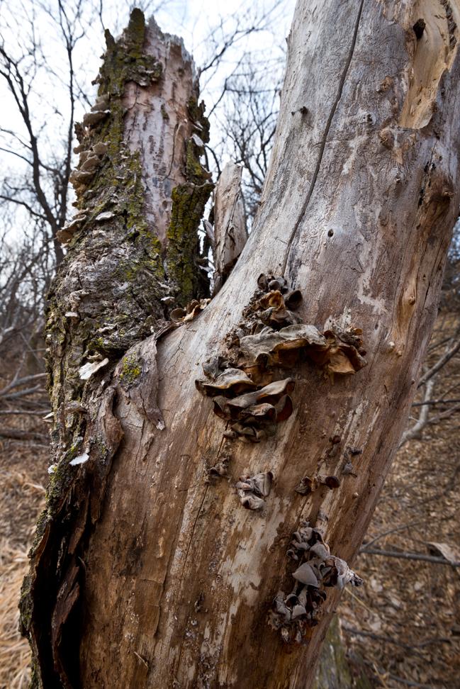 Brown Ear Fungus