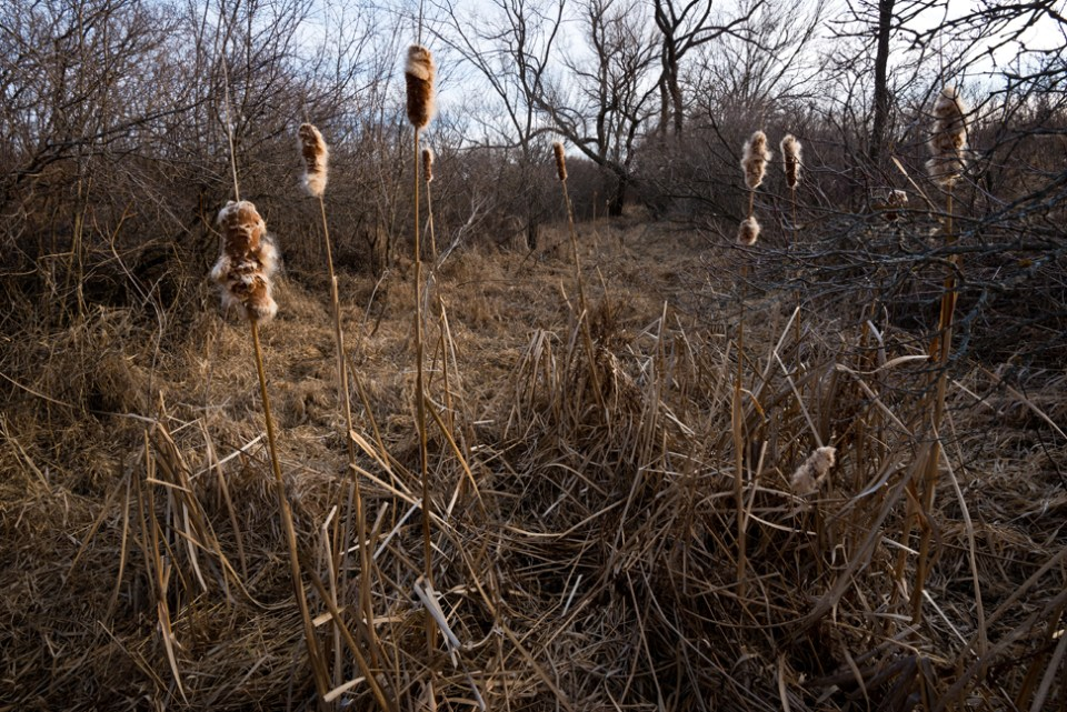 Cattails in the West Draw