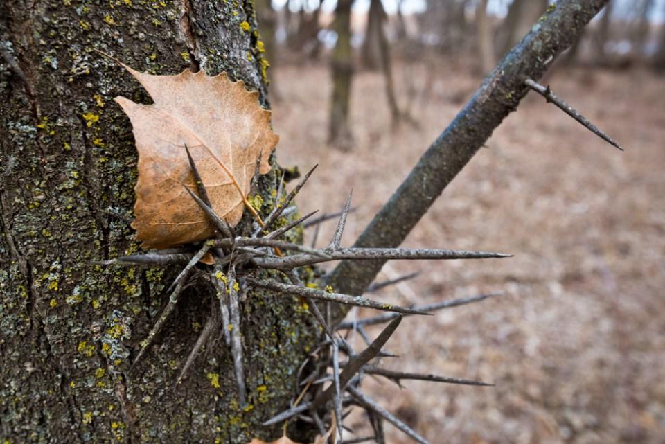 Cottonwood Leaf Caught in Locust Thorns
