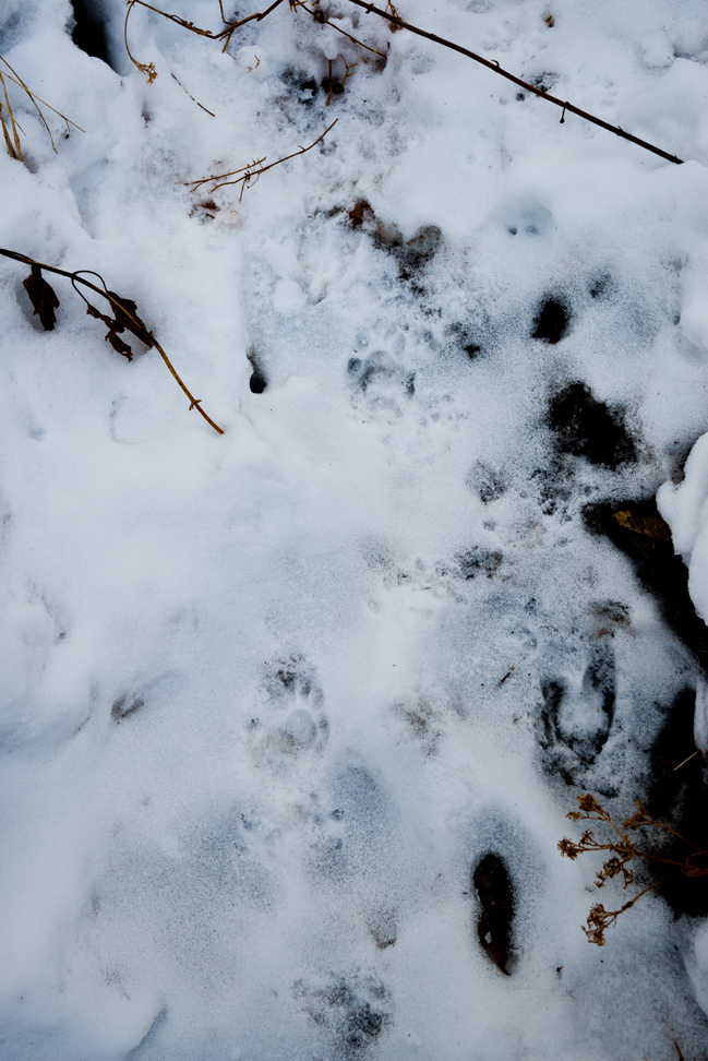 Critter Tracks in the Snow at the Seep
