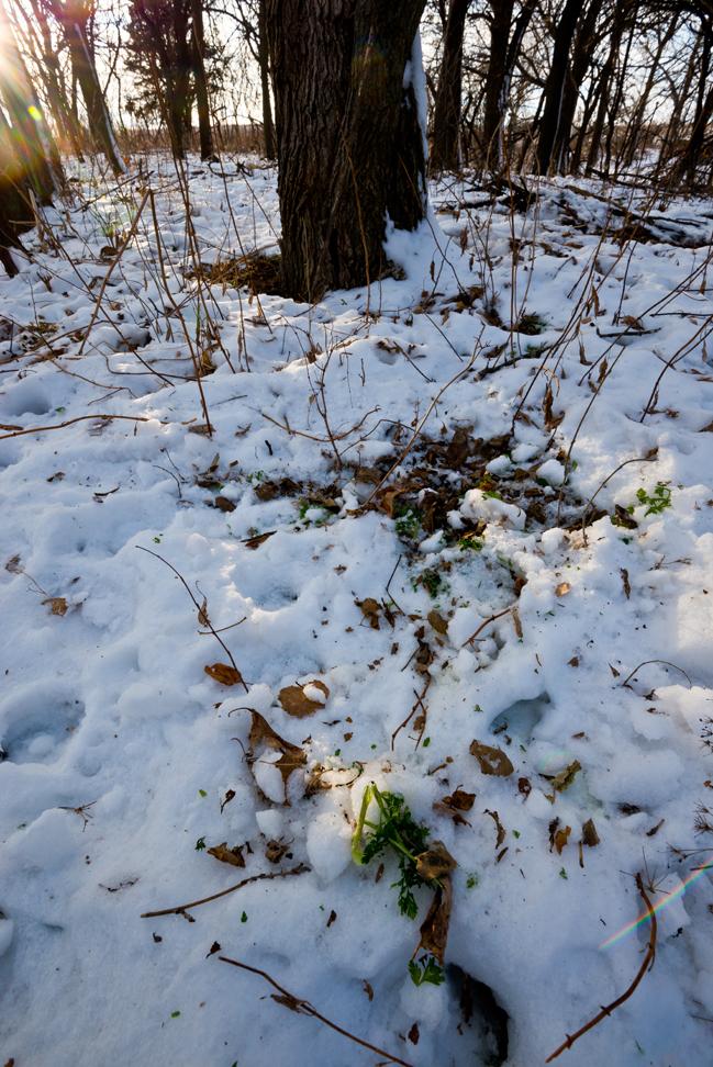 Deer Browsing Spot in the Snow (V)
