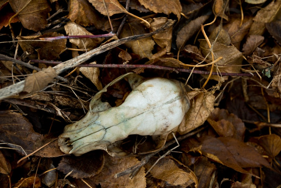 Raccoon Skull Find