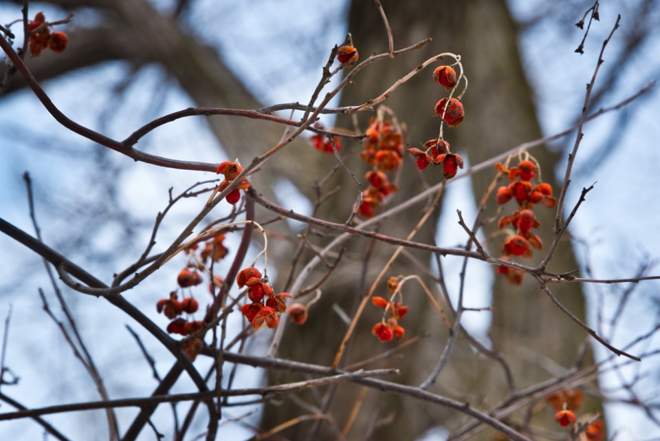 Second Snow East Branch Draw - Red Berries