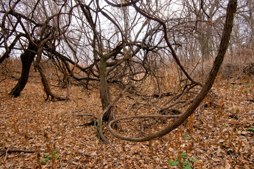 Vine Tangle at the Deer Park