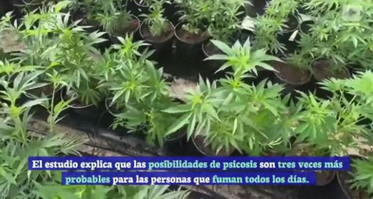 informe relaciona uso de marihuana con desarrollo de psicosis