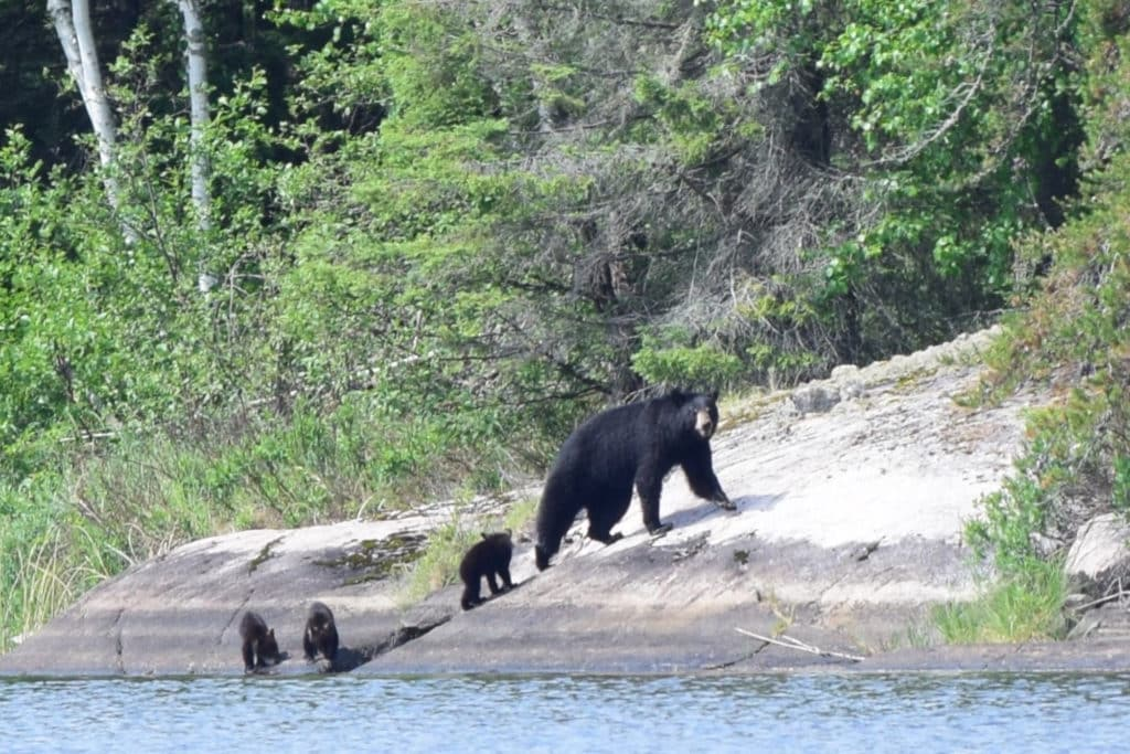 Black Bear Mother and 3 Cubs
