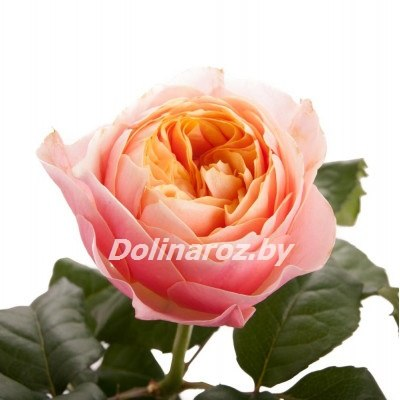 Пионовидные розы купить в Минске | Цена и Фото