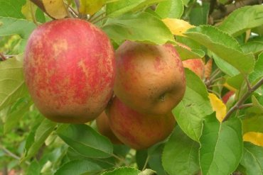 apple-from-e.z.-orchards-cidre-co