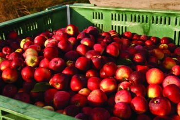 2011-Autumn-Oregon-Bounty-Willamette-Valley-Wandering-Aengus-crate-of-apples-for-hard-cider-production
