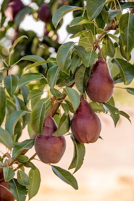 jen jones, oregon pears, parkdale oregon