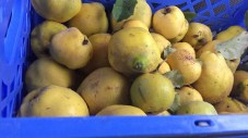 50# of quince, filled my car with the most amazing fragrance