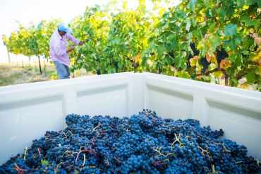 1889-Grape-Harvest-at-Wilridge-Vineyard