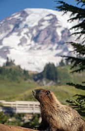 Marmots are a common sight in Paradise. Photo by Scott Minner.