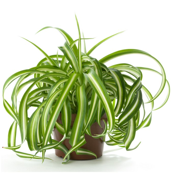 Spiderplant Care: 6 Plants That Can Help Detox Your House