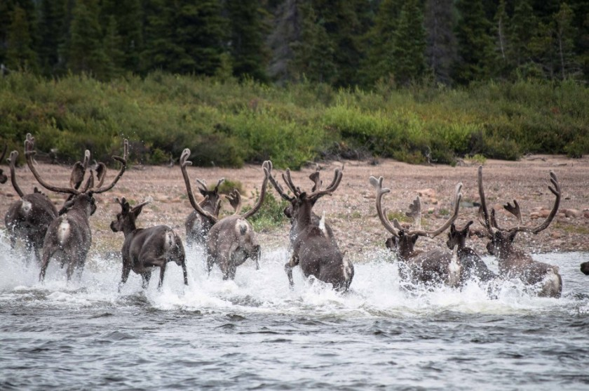 Caribou in Geoerge River Basin