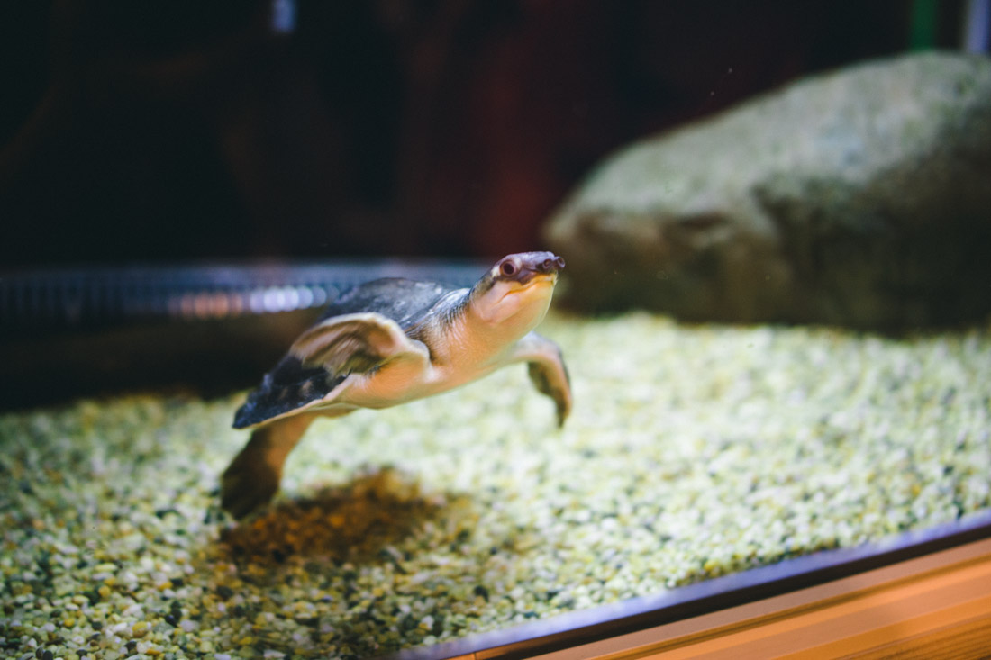 Weird-nosed-turtle. That's the scientific name.
