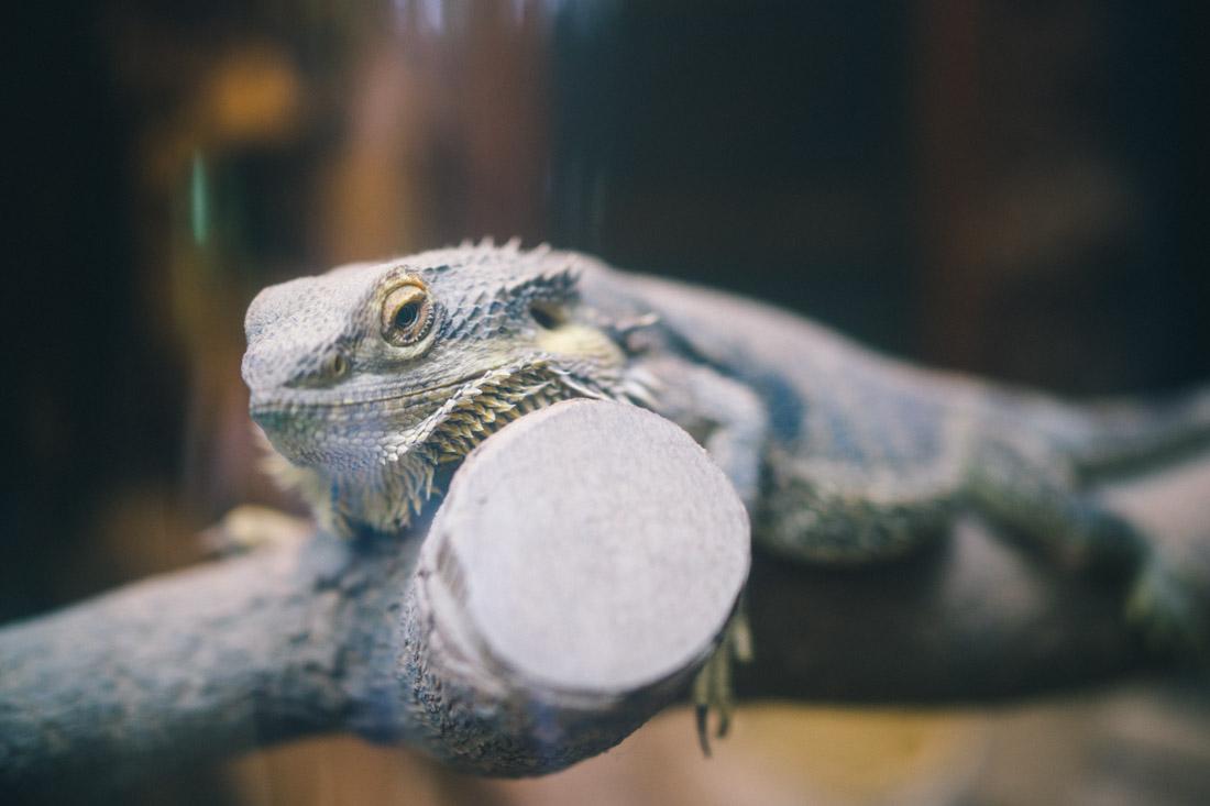 Spiky asian iguana.