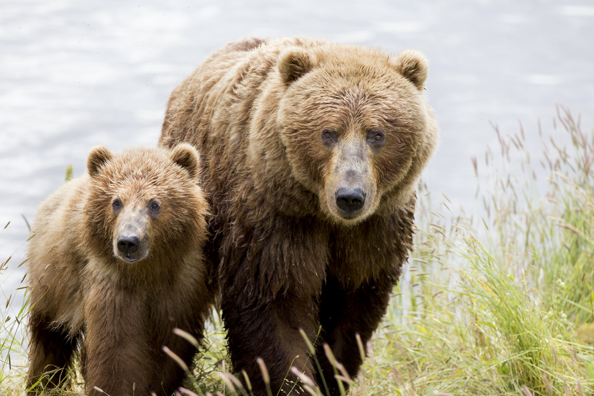 For Brown Bears And Salmon It S Not Just About Numbers