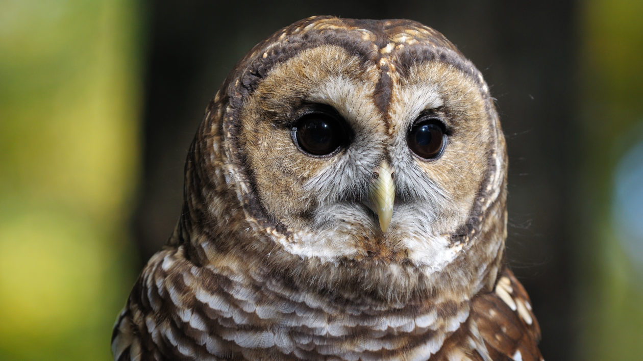 Barred owl. Photo © Ralph Daily / Flickr through a Creative Commons license.