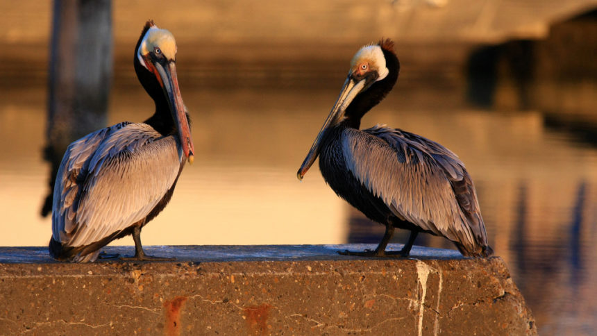 Brown Pelicans. Photo © Seabamirum / Flickr through a Creative Commons license
