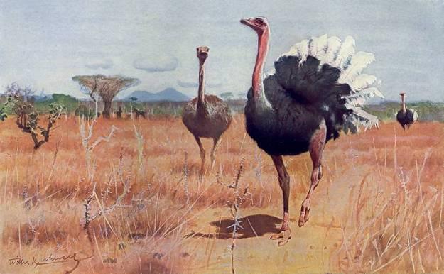 ostrich_kuhnert