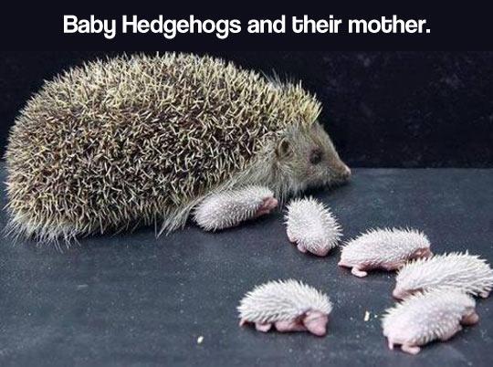 cute-hedgehog-babies-pet-newly-born