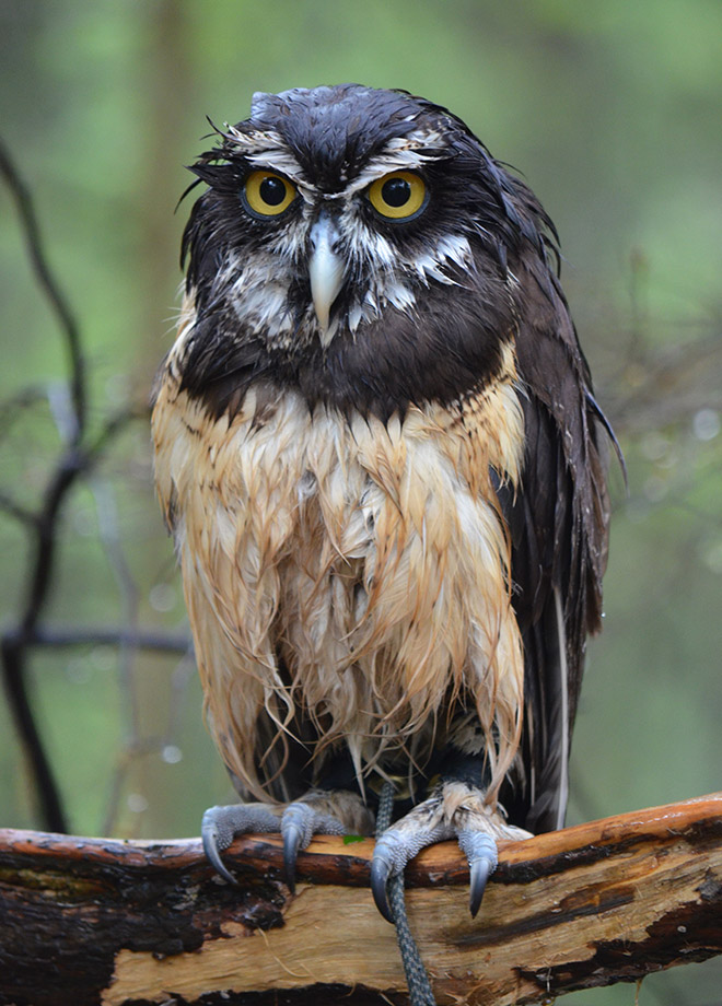 This wet owl is very pissed.
