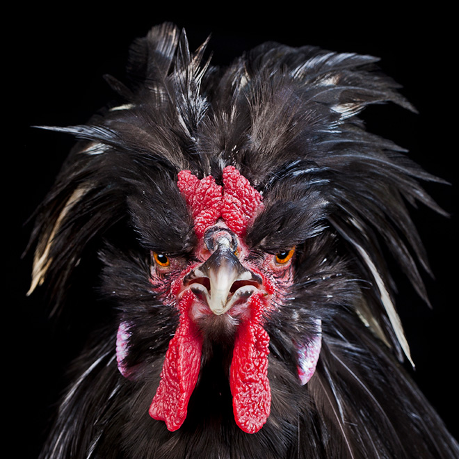 Epic rooster.