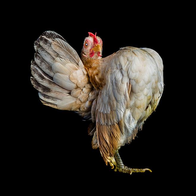 Weirdly standing chicken.