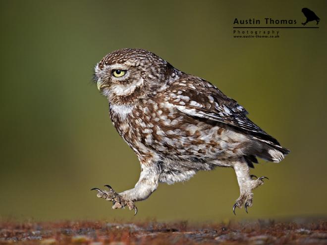 Busy walking owl.
